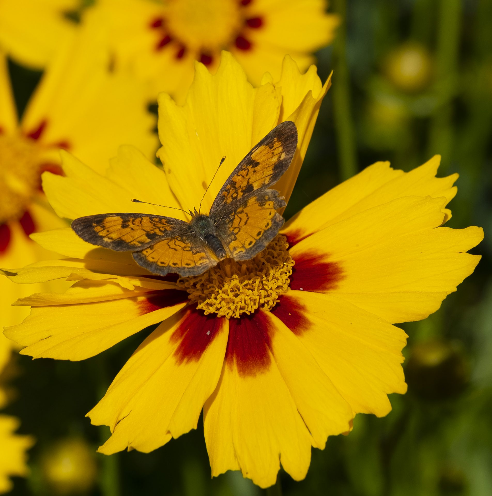 Pearl Crescent Butterfly on calendula flower